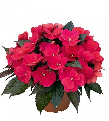 ... Red Flowering House Plants