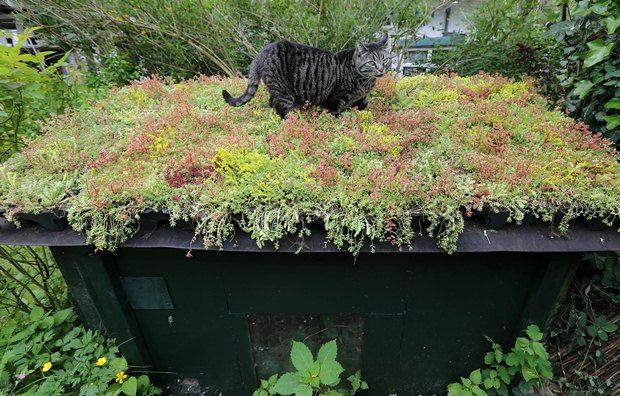 cat green roof :)  Emilie enjoying a walk on Andrew's new roof-to-come on Manitoulin Island!