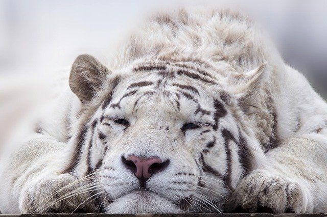 Complete set of white tiger facts for kids that will teach kids all about the white tigers. Learn about its history, physical features, diet, habitat, distribution, breeding etc