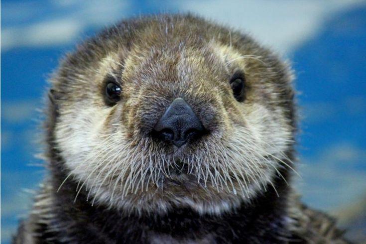 Mojo, a rescued sea otter pup now lives at the Oregon Coast Aquarium.