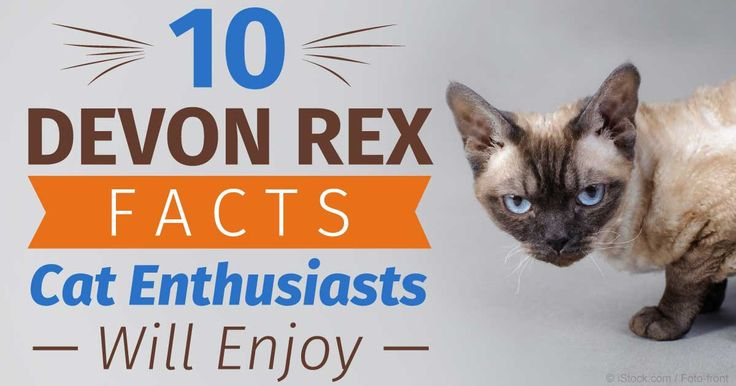Devon Rex cat have curious, playful personalities, love to be with their owners, and dislike being left home alone. http://healthypets.mercola.com/sites/healthypets/archive/2015/07/17/10-devon-rex-cat-facts.aspx