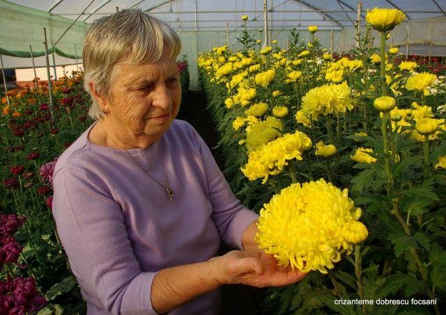 Crizanteme Dobrescu Focsani - Focsani - Cereale - plante - pomi - Afișare anunțuri invrancea.ro