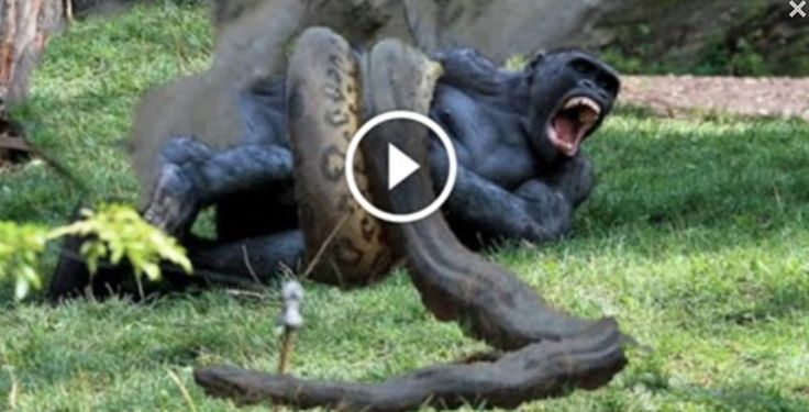 Gorilla Vs Crocodile
