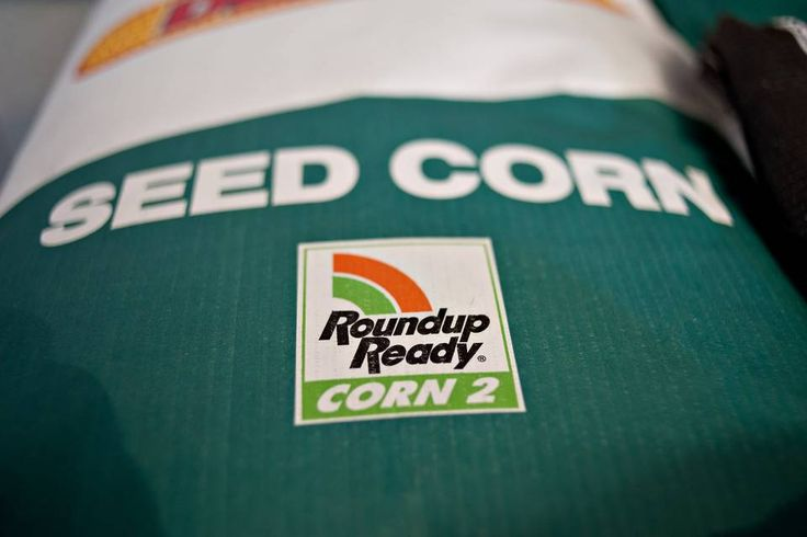 'Roundup Ready' seed corn, which works in tandem with Monsanto's Roundup weed killer, is a...