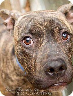Boston, MA - Mastiff/Boxer Mix. Meet Winston, a dog for adoption. http://www.adoptapet.com/pet/17700478-boston-massachusetts-mastiff-mix