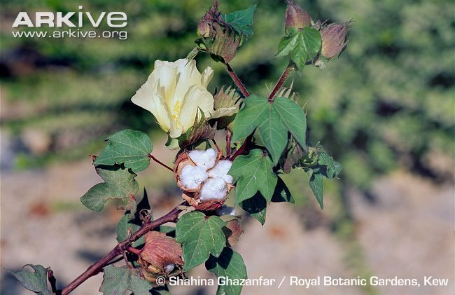 Algodoeiro. Levant cotton (Gossypium herbaceum). Levant cotton in flower. Arkive.