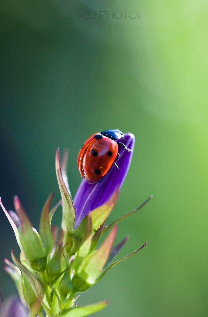 1059 best ladybugs images on pinterest lady bugs beetles and