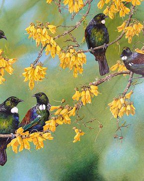Tuis on kowhai by Jeanette Blackburn