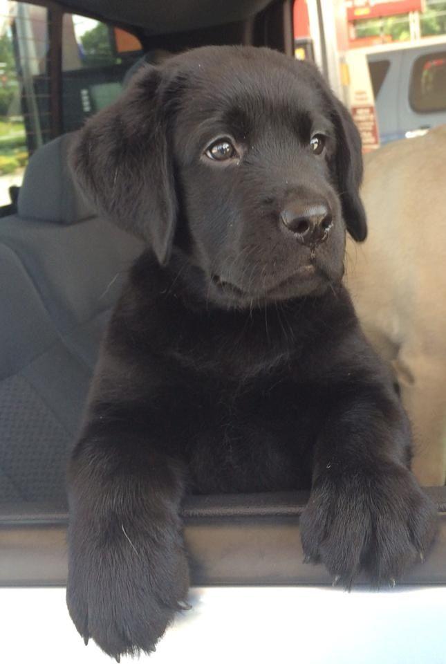 Black lab puppies in phoenix