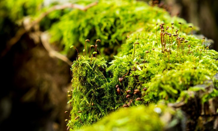 Moss Sporophytes - Closeup of sporophytes on moss-covered hollow tree trunk.