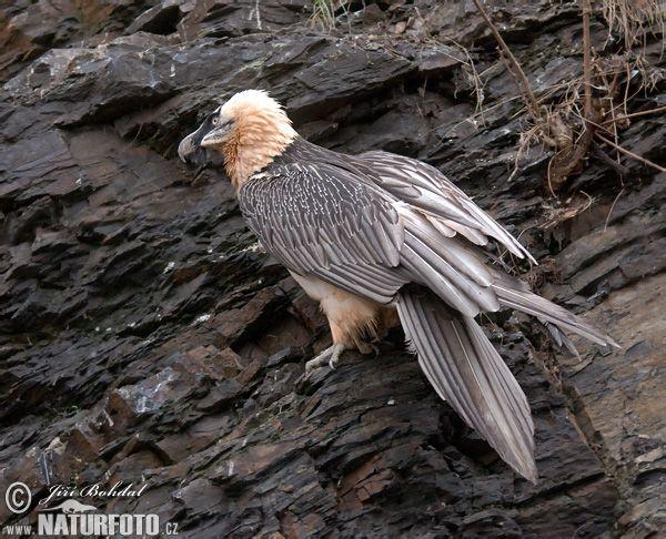 Bearded Vulture Photos, Bearded Vulture Images | NaturePhoto-CZ