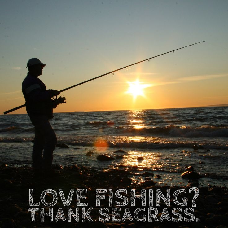 Love fishing? Thank seagrass.  https://www.sciencedaily.com/releases/2017/11/171117103823.htm