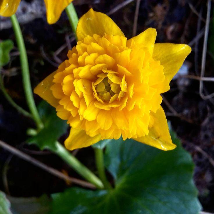 Caltha palustris 'Multiplex' in my garden #myphoto #calthapalustris #caltha #kingcup #cowslip #mygarden #mygardentoday #flowers  #springflowers #flowerslovers #instaflora #instaplant #yellowflowers #flowermania #blumen #gelbeblumen #meingarten #bluete #цветы #первоцветы #калужница #мойсад #дача #подмосковье http://gelinshop.com/ipost/1524750915033509995/?code=BUpAOD1hjBr