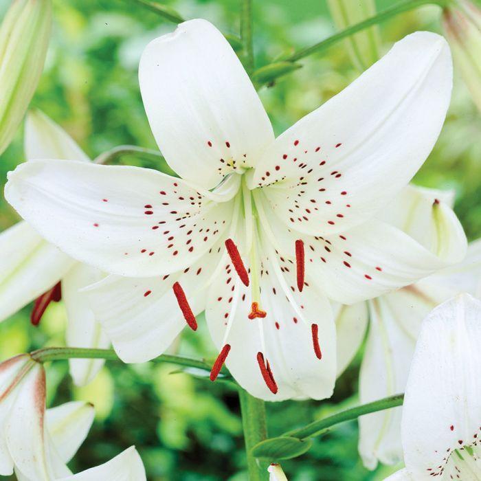 P Le White Tiger Lily Sun