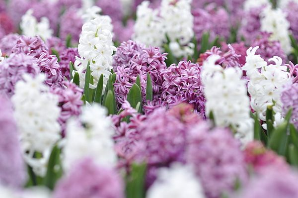 White And Violet Flowers