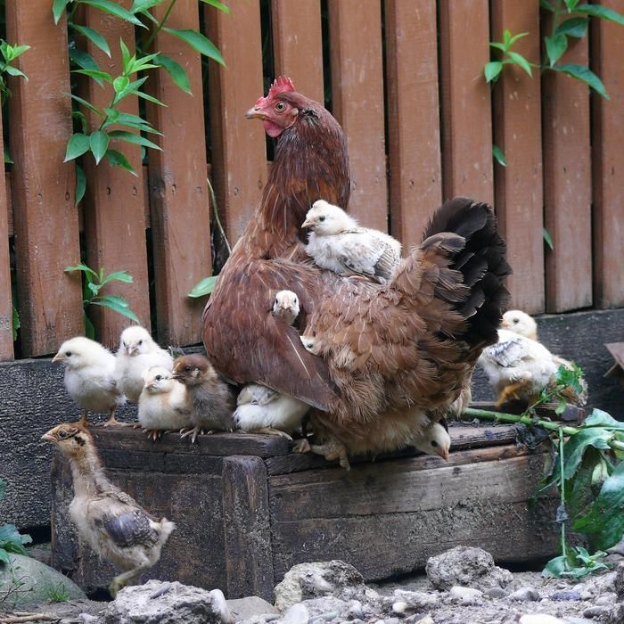 mamma and her babies...Hens And Chicks, Mothers Day, Back Roads, Keep Chicken, The Farms, Mamma Mia, Baby Chicks, Animal, Caramel Apples