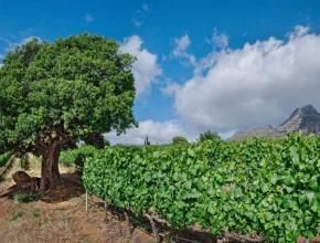 Photograph of the stately tree that graces the centre of our Chardonnay vineyard.
