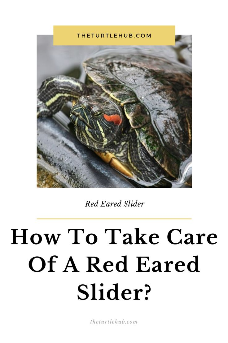 How To Take Care Of A Red Eared Slider? in 2020 Red