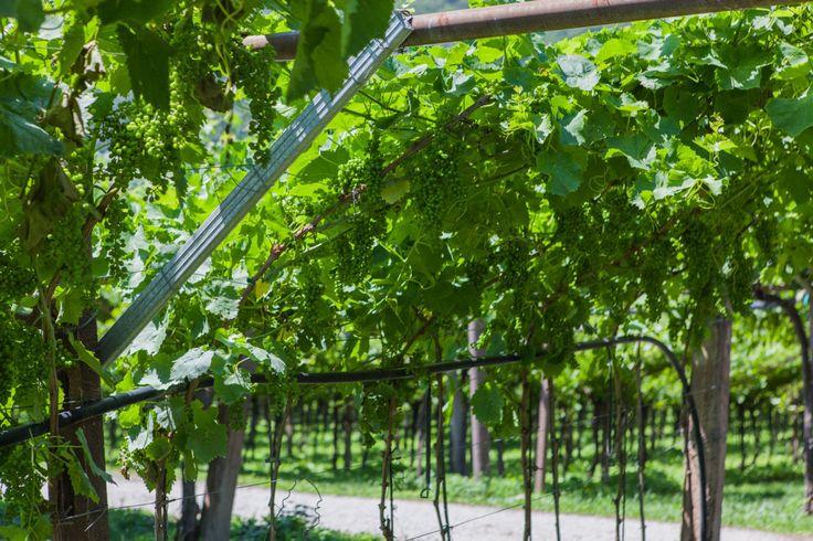 Viticoltura | Viticoltori Trentini