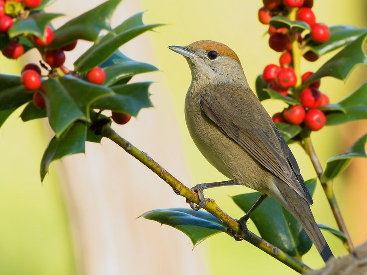 blackcap and holly...