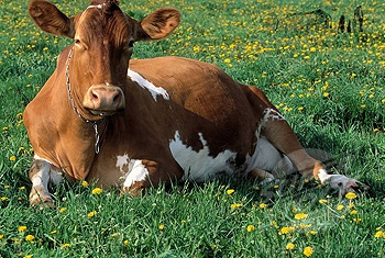 Guernsey cow - love these guys ever since my sister worked on that dairy farm.