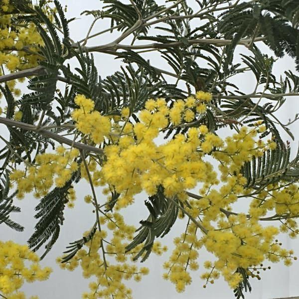 Acacia Sok Pa Google Mimosa Tree Evergreen Trees Flowering Cherry Tree