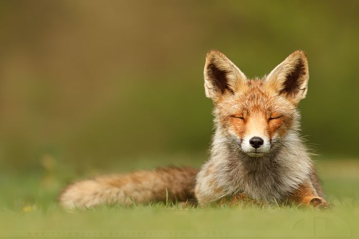 ZenFox  by *thrumyeyeWild Animal, Animal Right, Animal Lovers, Nature Photos, Smile Animal, Send Peace, Red Foxes, God Creatures, Gift Shops