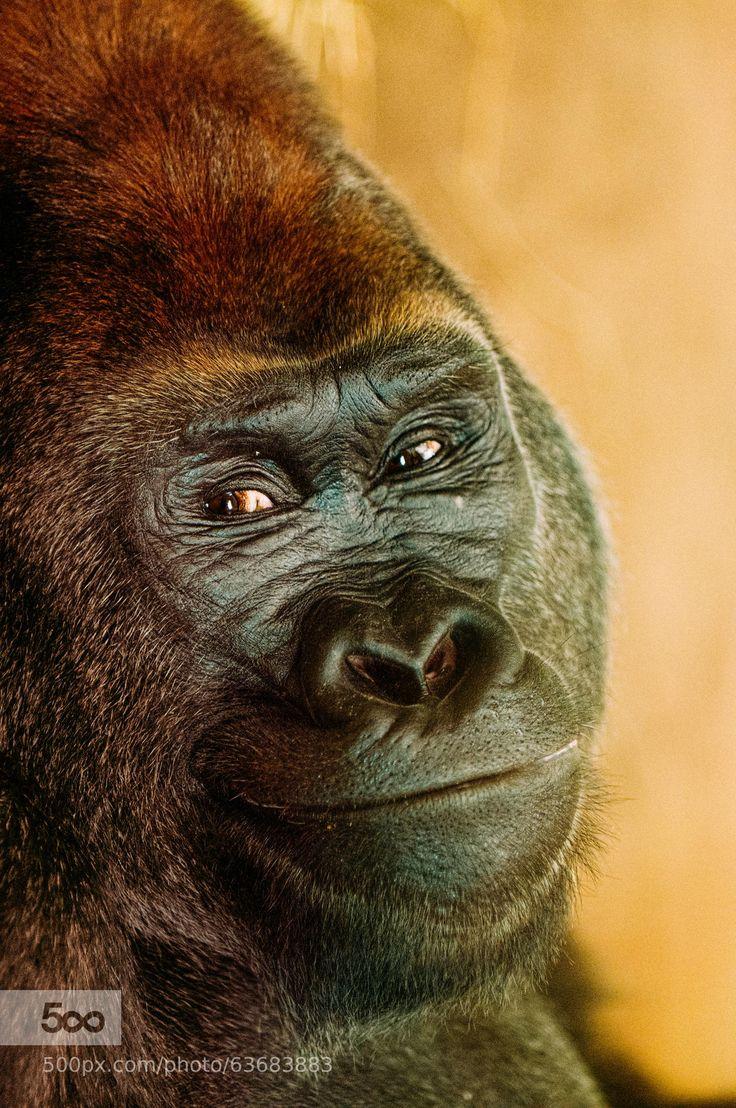 Animal kingdom coloring book gorilla - Animal Kingdom Coloring Book Gorilla 52