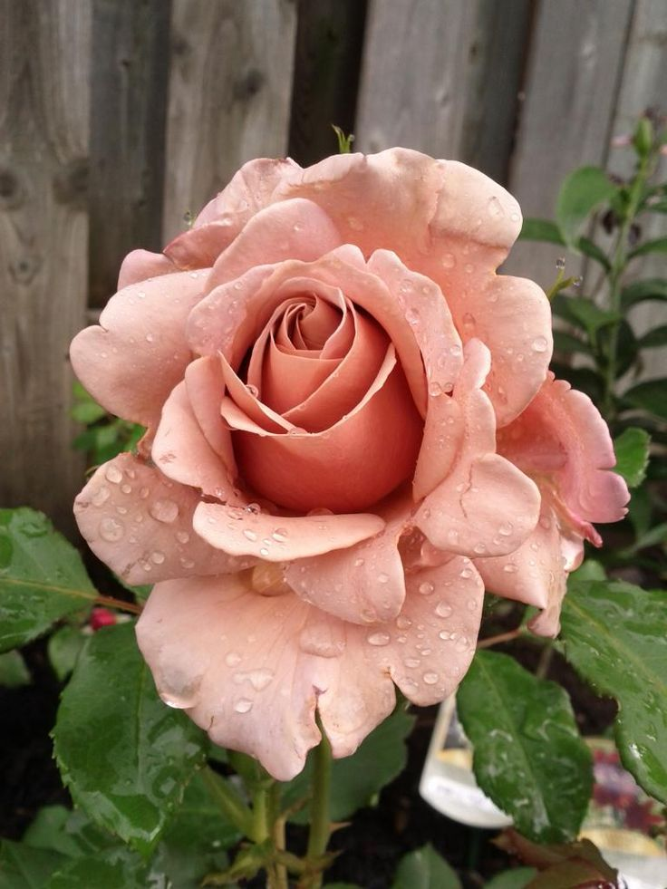 'Koko Loco' Floribunda rose