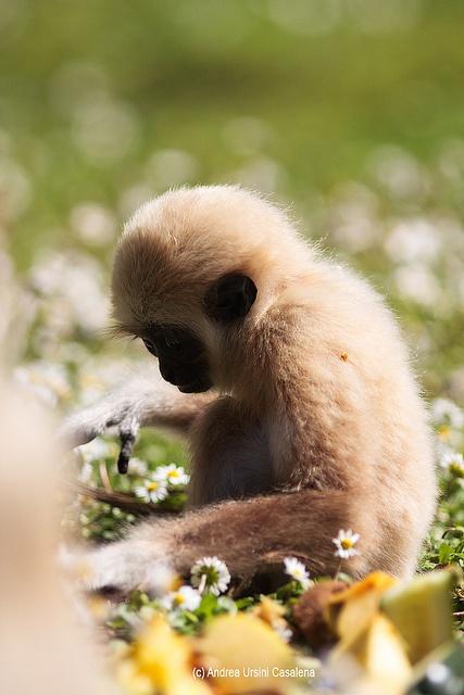 Piccolo Gibbone dallo Zoo di Falconara (AN)