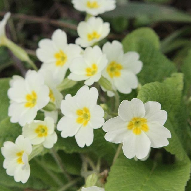 Saw these #primroses in #conwy this week.  Art inspiration from #walescoastalpath.  #macro #pocket_macro #sensational_macro #awesome_florals