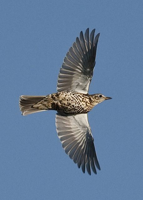 Beautiful Flying Mistle Thrush: Tattoo Idea
