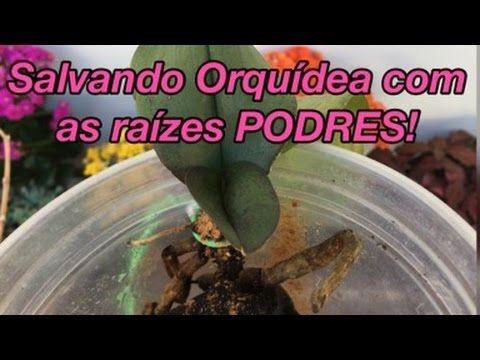 Estimulando o Enraizamento de Orquídeas no Toquinho - YouTube