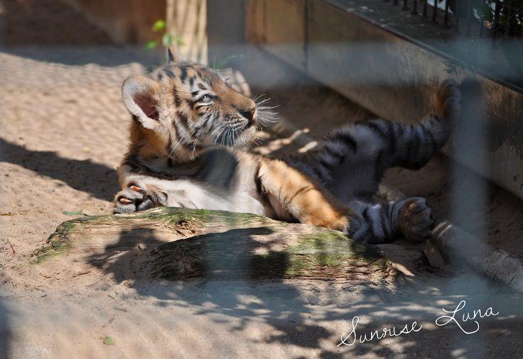 Sibirischer Tiger - Tierpark Berlin