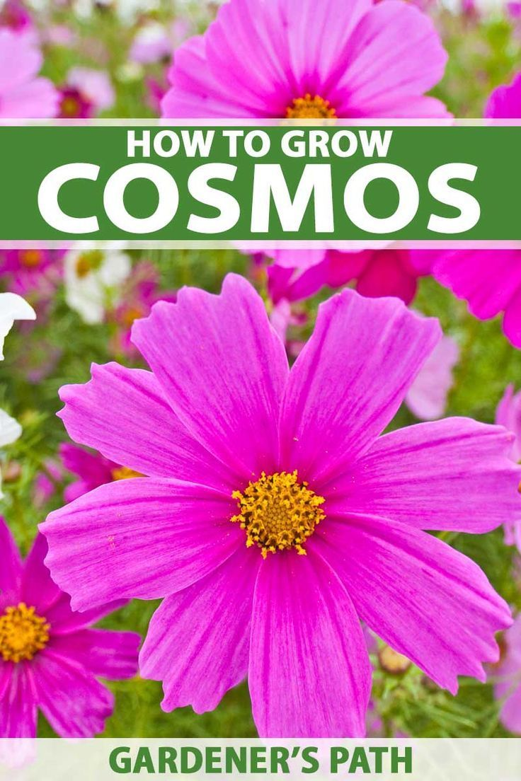 How To Grow And Care For Colorful Cosmos Flowers Gardener S Path Are You Looking For The Br In 2020 Cosmos Flowers Annual Flowers Plants