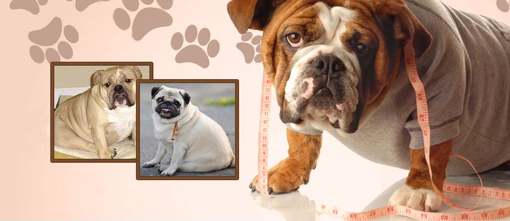 Is your dog suffering from obesity? #doghealth #doglife