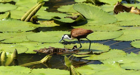 Jacana, iSimangaliso Wetland Park, South Africa