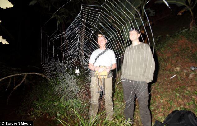 Biggest Spider In The World | Arachnophobes look away now: The world's biggest spider web stretches ...