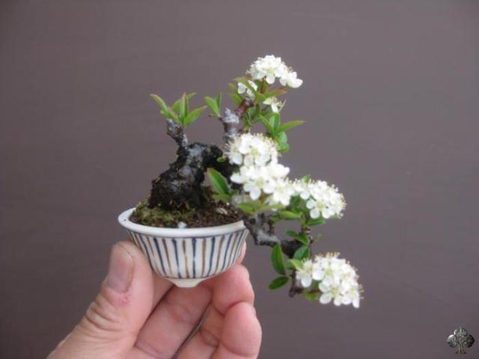 Floração de Bonsai Mame