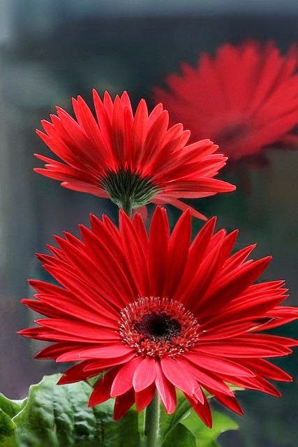 Ruby red gerberas. Browse our selection of ruby jewellery at savings of up to…