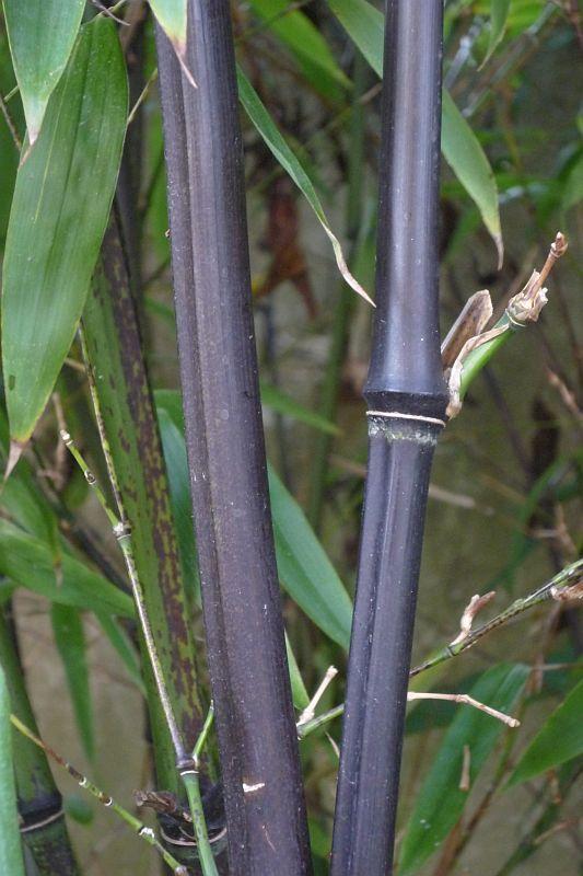 Phyllostachys nigra   Zimovzdorné bambusy a pěstování bambusů u nás
