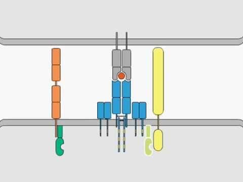 7 best undergrad review images on pinterest adaptive immune tcr signaling publicscrutiny Choice Image