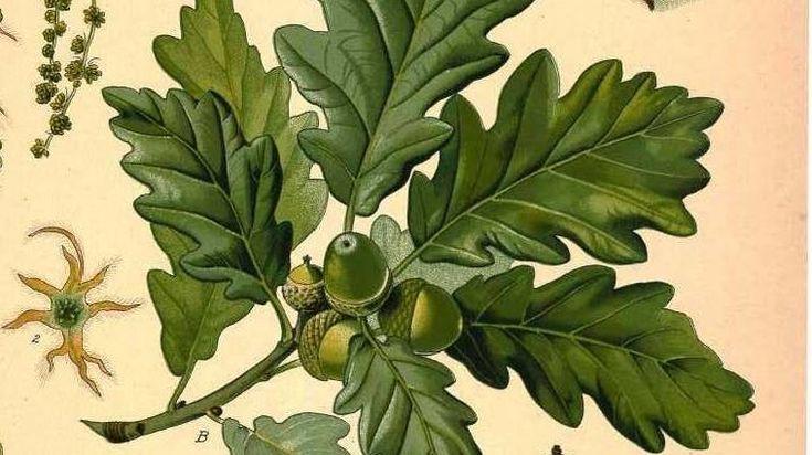 two parts whiskey ... American whiskeys are often aged in white oak barrels (Quercus alba).  Koehler's Medicinal Plants/Image courtesy Missouri Botanical Garden. http://www.botanicus.org