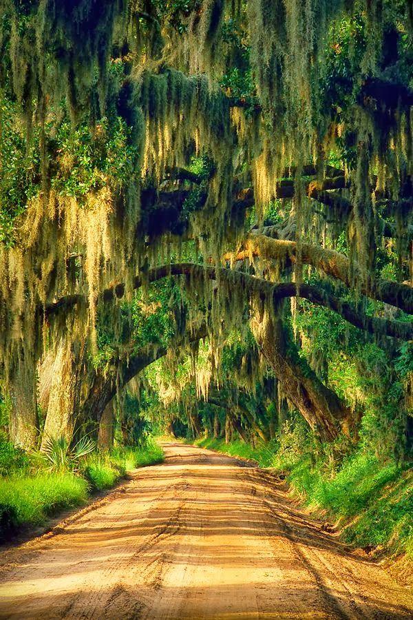 Spanish moss growing on an oak road, Edisto Island, South Carolina