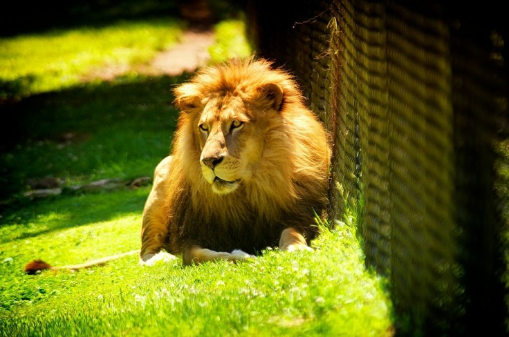 The Cape May County Zoo was ranked by TripAdvisor as the #3 Zoo in the country and unlike the top 2, it's completely free!    Open Daily - (Closed Christmas Day) 10 a.m. to 4:45 p.m. in the Spring/Summer and  10 a.m. to 3:45 p.m. for Fall/Winter Hours (Begins when Daylight Savings ends)