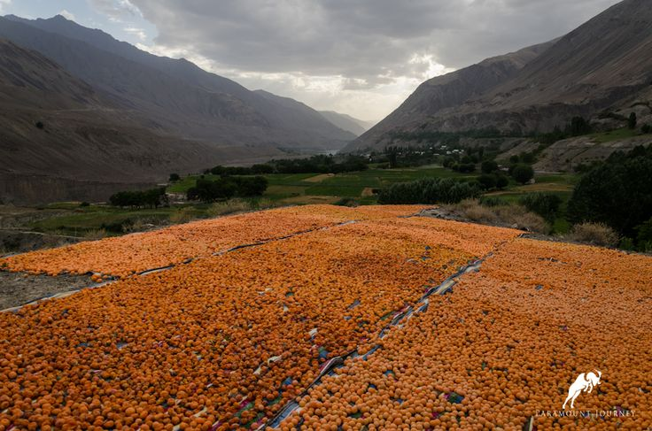Drying apricots in Zarafshan valley! #tajikistan, #mountains, #travel paramountjourney.com
