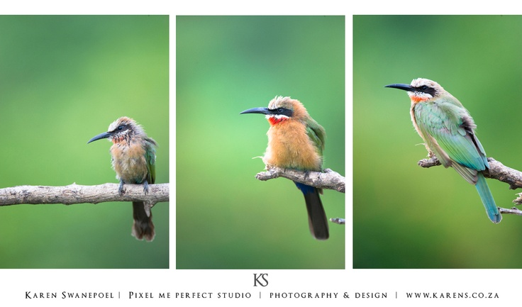 Bee Eaters - Kruger