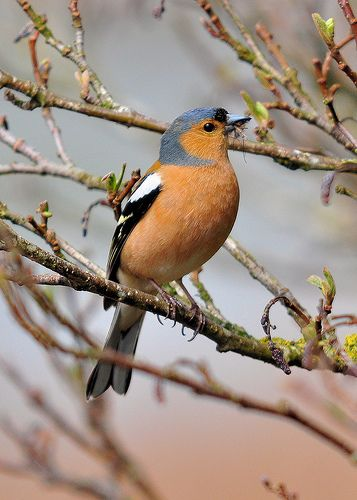 The chaffinch is a usually a ground feeding bird and will eat small bugs and seeds. The male chaffinch is very bright coloured and has a big orange breast, the females are usually Browns and have the same line markings. They have an off spring of 3-9.