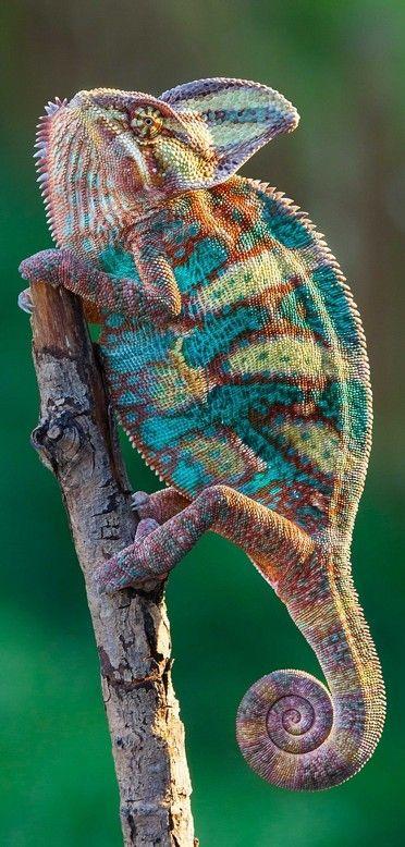 Super chameleon • Arturas Kerdokas....it really looks like it's wearing a sweater. Great colour inspiration for knitting :)