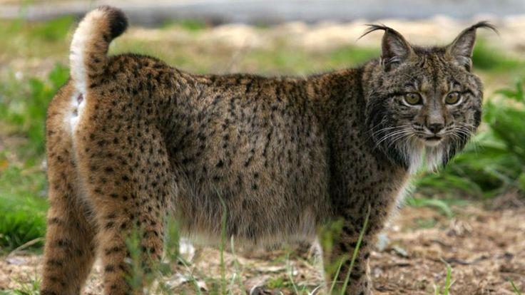 Entenda como insetos da família do barbeiro ajudaram na conservação do felino mais ameaçado do mundo.